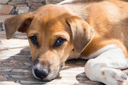 개 코로나바이러스 감염증
