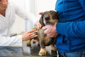 개 백신 접종