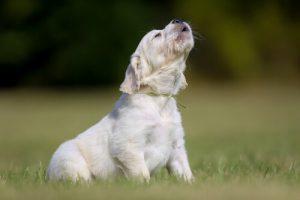 개가 짖는 다른 이유