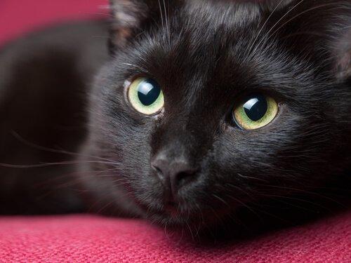 검은 고양이와 불행의 관계
