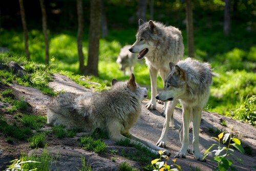 늑대 무리의 행동 특성