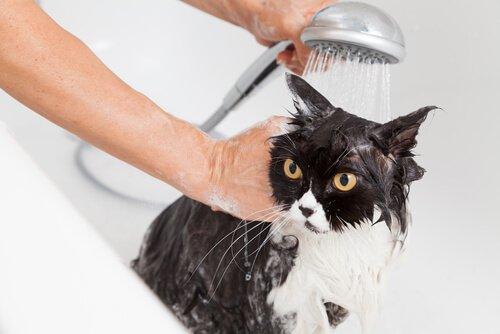 고양이를 목욕시키는 올바른 방법
