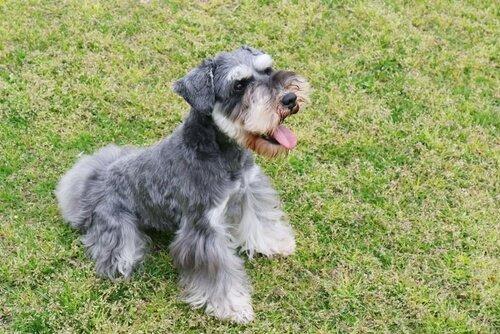 세계애견연맹의 견종 분류: 2그룹에 해당되는 개