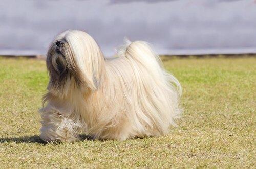 세계애견연맹의 견종 분류: 9그룹에 해당되는 개