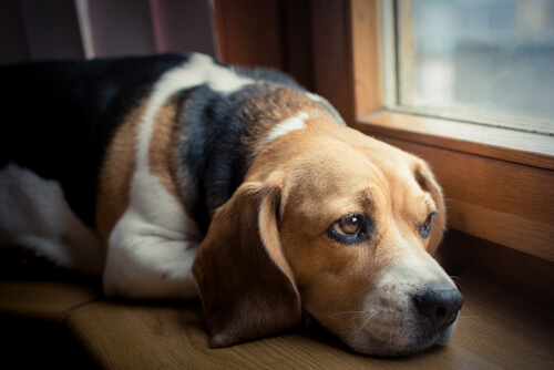 개가 고통을 표현하는 방법