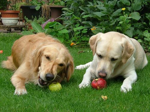 반려견-사과-사과식초