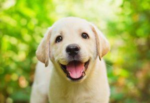 가장 애정이 넘치는 개는 어떤 품종일까?래브라도 레트리버