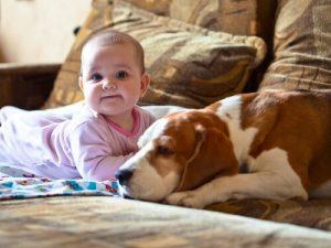 반려견 바셋하운드와 그의 아기 주인