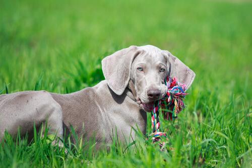 개와 놀잇감