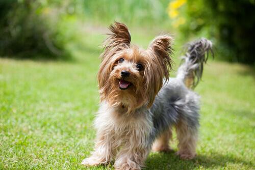 요크셔테리어 - 작지만 대범한 성격의 개