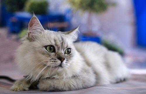 고양이가 소통하는 방식: 반려묘가 말을 한다