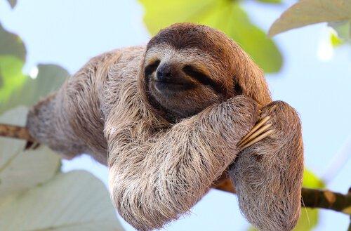 세상에서 잠을 가장 많이 자는 동물 나무늘보 수면 시간