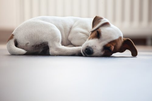 반려견이 쉬는 자세: 개는 어떤 자세로 잠을 자는가