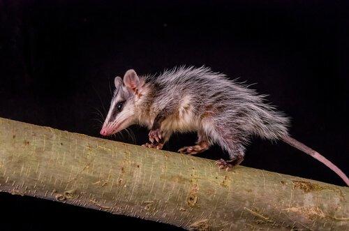 세상에서 잠을 가장 많이 자는 동물 주머니쥐