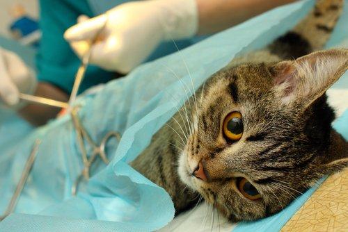 조기 중성화 수술은 무엇일까?