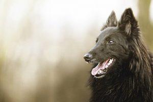 벨기에 쉐퍼드 검은 개