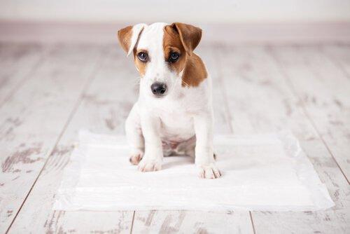 개에게 신문 위에서 볼일 보는 방법 가르치기