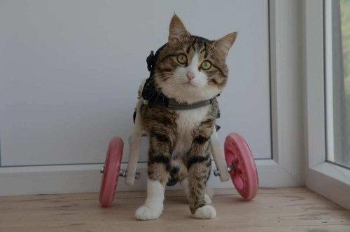 휠체어를 사용하는 고양이, 렉시