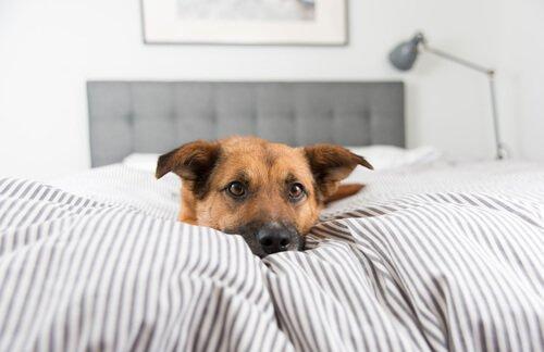 왜 반려견이 자기 침대에서 자려고 하지 않을까?