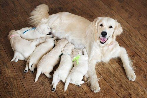 개의 출산을 돕는 방법