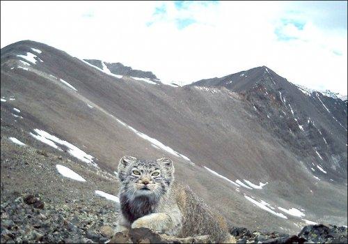 러시아에서 멸종위기종 고양이가 카메라에 포착되다