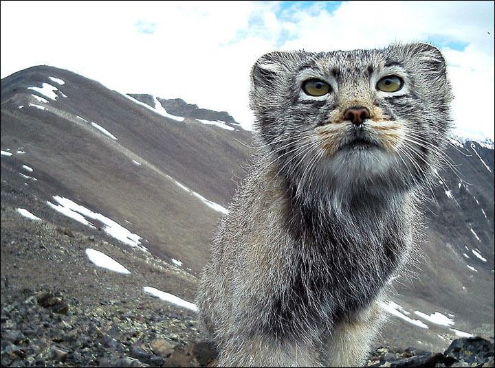 최근 시베리아 남부 알타이 자연 보호 구역으로 떠난 한 원정대가 주목할만한 발견을 했다. 카메라로 팔라스 고양이를 포착한 것. '마눌'이라고도 불리는 이 고양이는 사람 눈에 잘 띄지 않는 데다, 국제자연보전연맹(IUCN)의 적색 목록에 포함된 고양이다. 적색 목록에 따르면 팔라스 고양이는 '준위협종'단계로 분류된다. 그래서 이 멸종위기종 고양이가 카메라에 포착된 일이 놀라운 것이다.