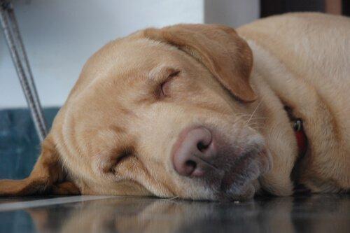 늙은 반려견에게 수면은 왜 중요할까?