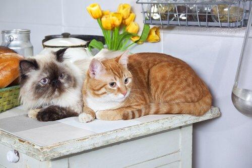 고양이 입양: 한 마리 대신 두 마리가 더 나은 이유