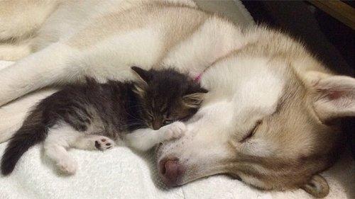 고양이를 입양한 허스키, 릴로