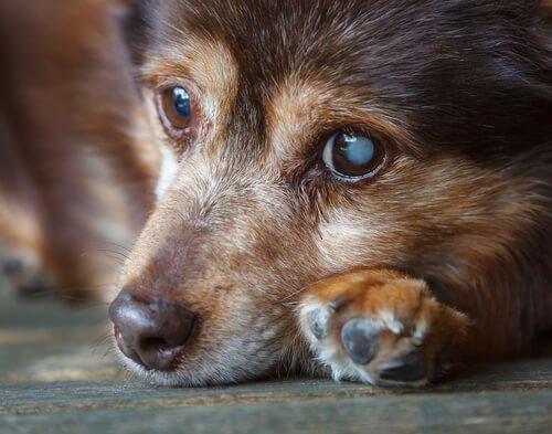 개 백내장의 증상과 치료
