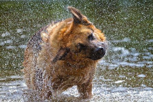 개는 왜 몸을 흔들어서 털까?