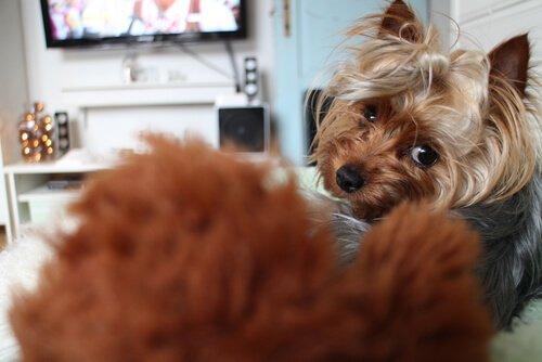 개들도 TV를 본다는 사실을 아는가?