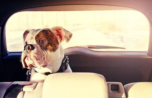 개가 멀미를 하지 않도록 예방하는 방법