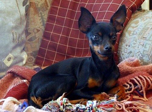 세상에서 가장 작은 개 '프라하 래터'