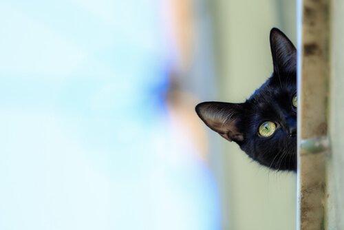 봄베이 고양이의 특징 및 키우는 방법