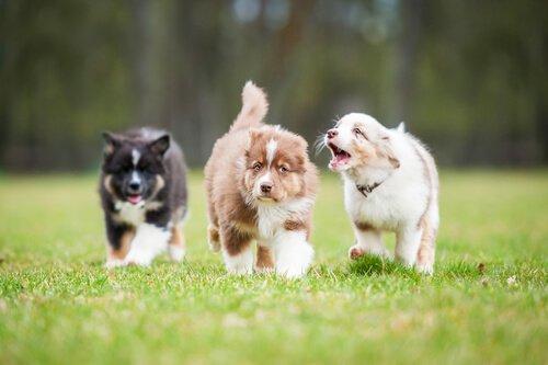 새끼 강아지에게 먹이를 주는 방법과 지침