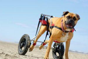 해변을 누비는 휠체어를 탄 강아지