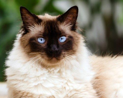 샴 고양이의 우아함