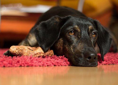 개가 헛구역질을 할 때 어떻게 해야 할까?