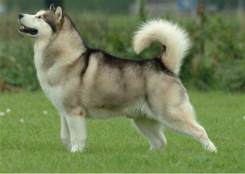늑대처럼 보이는 개 품종