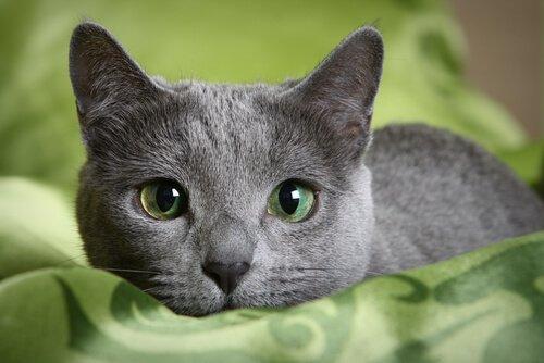 러시안블루 고양이를 만나보자