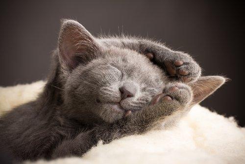 러시안 블루 고양이를 만나보자
