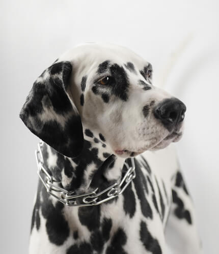 프론지 칼라 목줄 법으로 금지된 개 목줄은 어떤 것일까?
