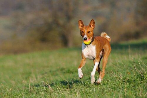 가장 덜 짖는 개는 어떤 품종일까?