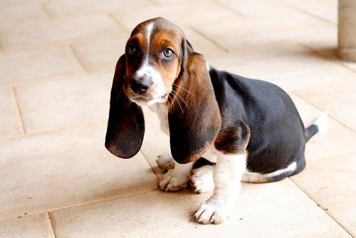 큰 귀를 가진 개 품종