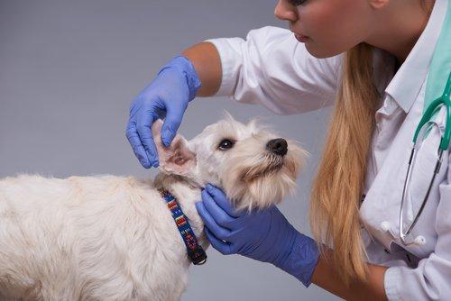 개에게 흔한 질환인 귀 염증을 알아보자