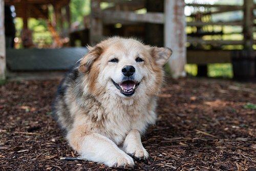 개 고관절 이형성증의 진단 및 치료