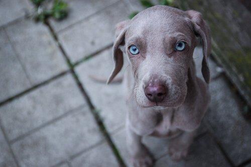 푸른 눈을 가진 견종