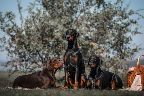 도베르만 잠재적으로 위험한 개는 어떤 견종일까?