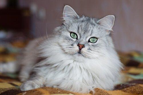 가장 비싼 고양이 품종